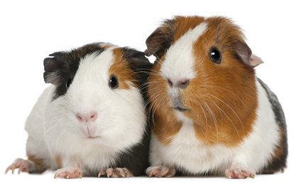 couple of guinea pig (3 years old)